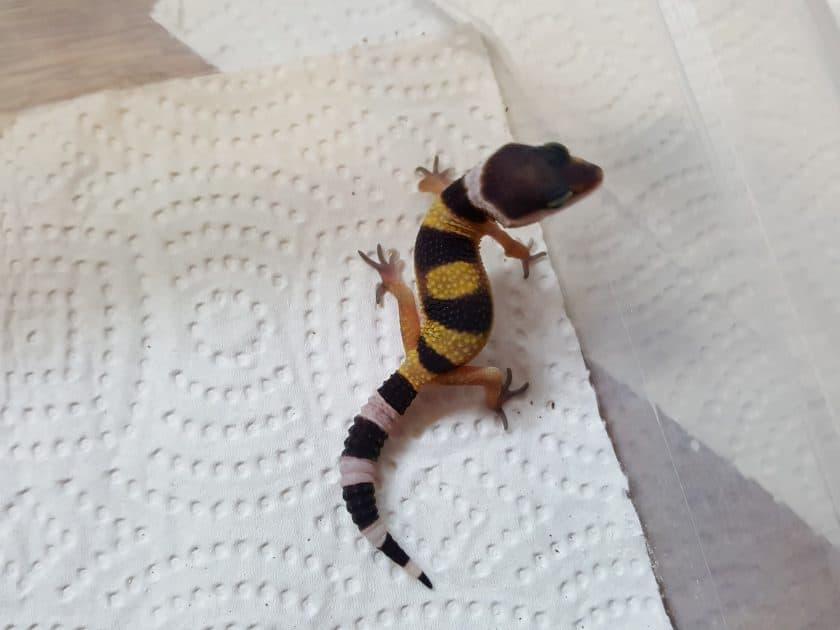 Leopard gecko from Grinning gecko breeder