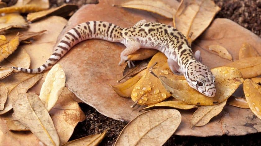 Leopard gecko from Ramsey's Reptiles breeder