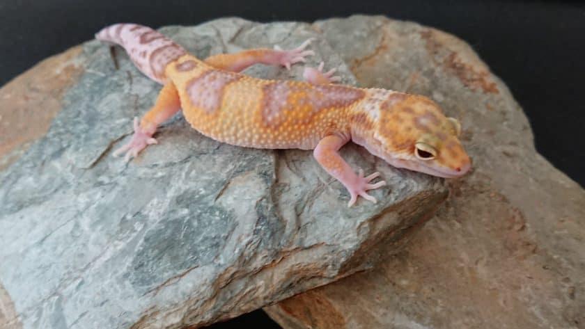 Leopard gecko from Mandala Geckos breeder