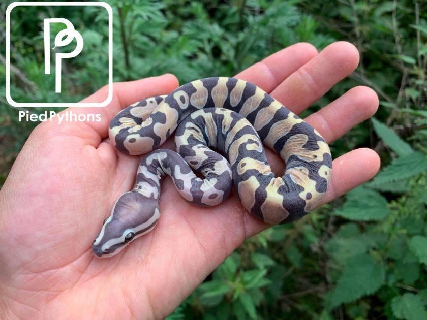 Scaleless ball python