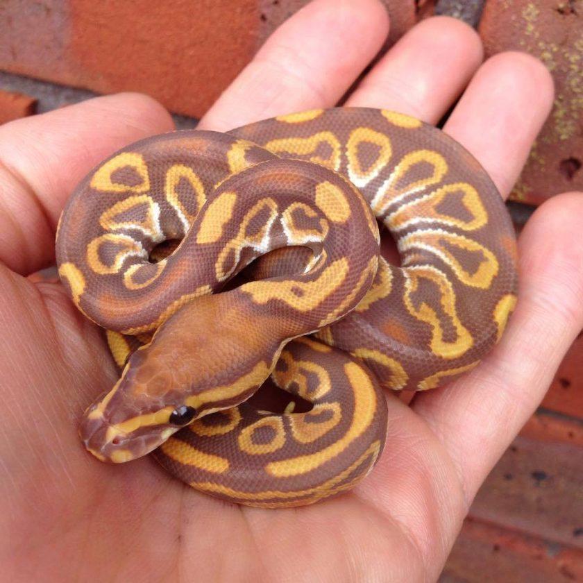Baby ball python not eating