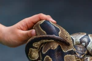 Vet checking ball python scales
