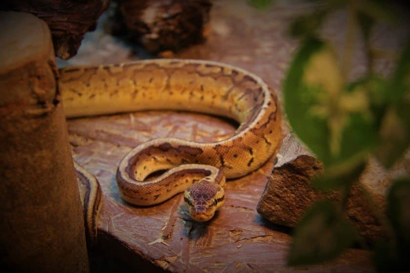 Ball python not eating