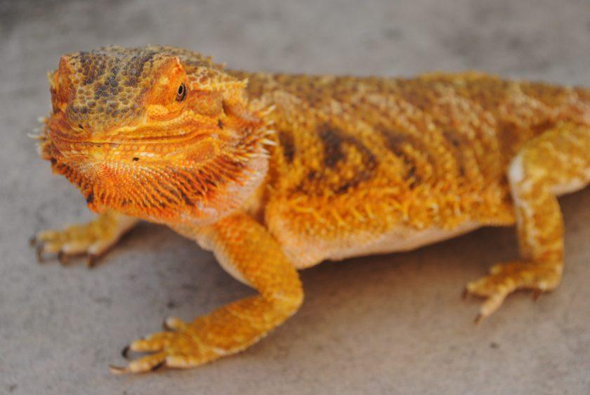 Bearded dragon resting