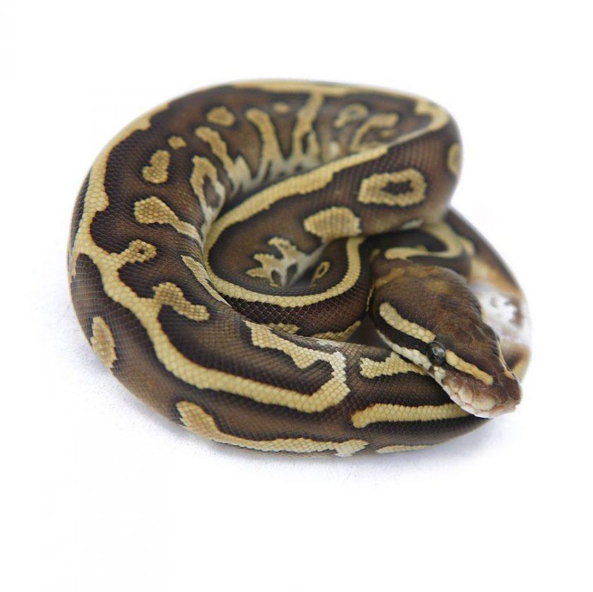 Leopard Butter Ball Python