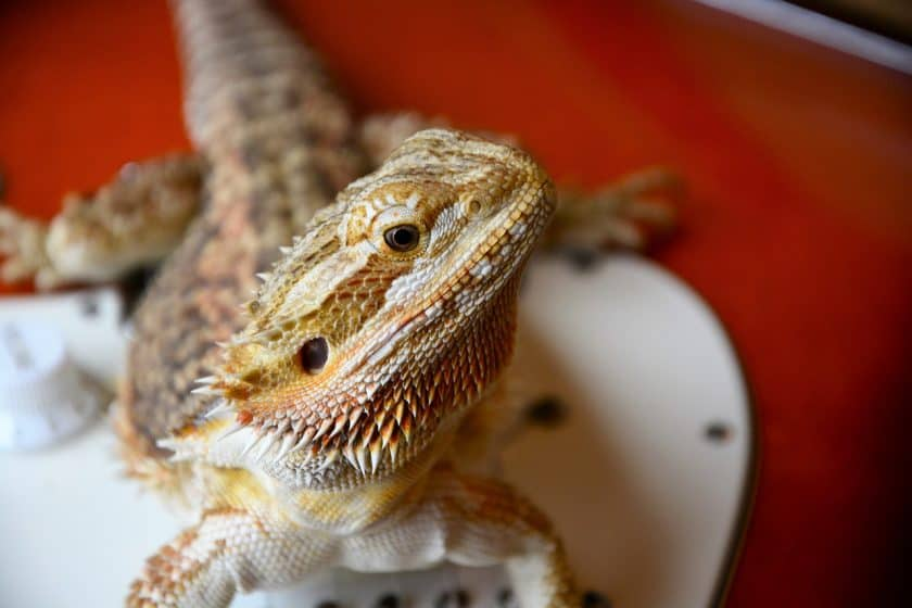 bearded dragon showing common behavior