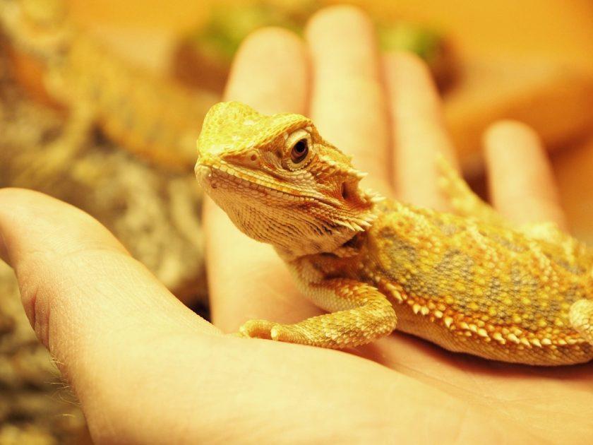 petting bearded dragon